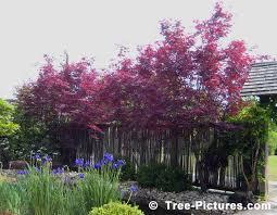 maple tree japanese maple tree picture
