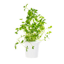 click and grow oregano refill 3 pack for smart herb garden
