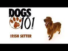 belgian malinois 101 youtube dogs 101 puppies training eng aal future dog pinterest