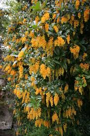 Top Flowering Shrubs - soft caress mahonia southern living plant collection shrub
