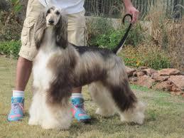 afghan hound of america windstar
