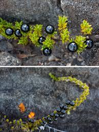 native hawaiian plants hidden hawaiian native volcanic plants berries hawaii photos