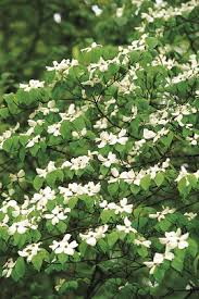 white flowering dogwood dogwood trees planting care and facts garden design