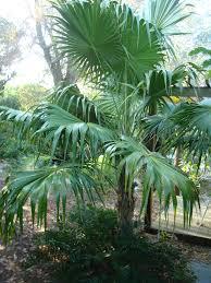 florida native plants for sale florida thatch palm for sale wilcox nursery