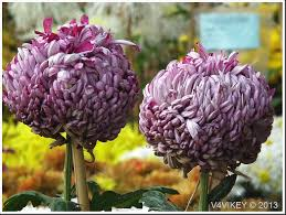 red chrysanthemum flowers are the best flower ofthe world