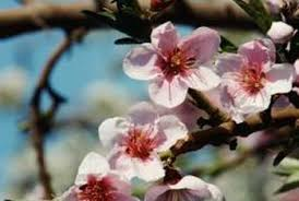 cherry blossom tree u0026 japanese beetles home guides sf gate