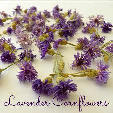 Bachelor Buttons Dried Cornflowers Lavender Cornflowers Bachelor Buttons Real