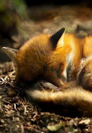 sleeping red fox wallpapers 234 best red fox images on pinterest red fox wild animals and fox