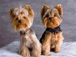 bichon frise vs yorkie best 25 yorkshire terrier haircut ideas only on pinterest