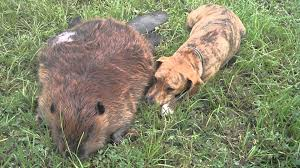 bella dog mourns death of beavis beaver youtube