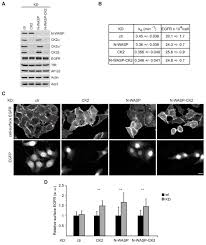 interplay between n wasp and ck2 optimizes clathrin mediated