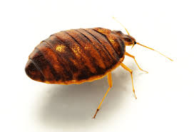 How Often Do Bed Bugs Reproduce Bed Bugs Nj Exterminator All Seasons Pest Control New Jersey