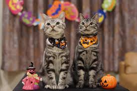 cat halloween picture cats in costumes purrfect love the cat lovers community