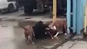 boxer dog kills man police shoot dead three pit bulls after they savage pet owner and