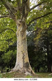 plane tree platanus orientalis stock photos