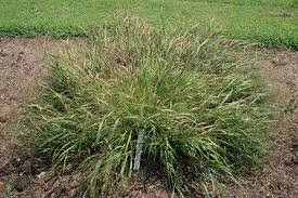 carolina ornamental grass trials national grass trials