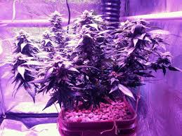 best light to grow pot which led grow lights are best for growing cannabis weed easy