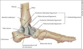 Posterior Inferior Tibiofibular Ligament Management Of Ankle Sprains American Family Physician