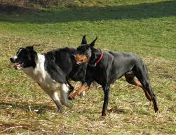 belgian shepherd vs doberman doberman u0026 border collie doberman forum doberman breed dog forums