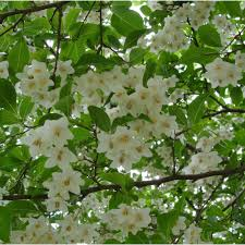 styrax japonica ornamental trees from ornamental trees ltd uk