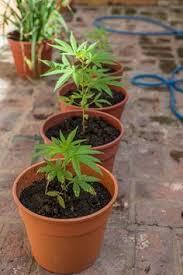smoking weed in backyard outdoor marijuana growing for beginners how to grow one or two