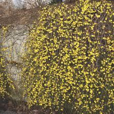 jasminum nudiflorum climbing plants ireland clarenbridge