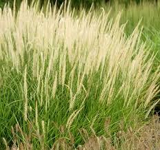 321 best grasses images on plants ornamental grasses