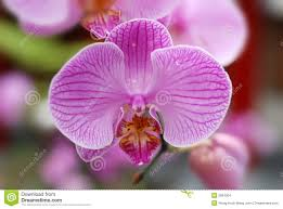 butterfly orchids stock images image 2804304