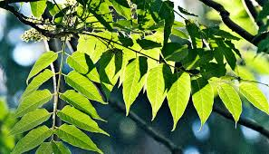 tree of heaven is an invasive threat futurity