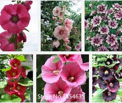 Hollyhock Flowers Compare Prices On Hollyhocks Flowers Online Shopping Buy Low