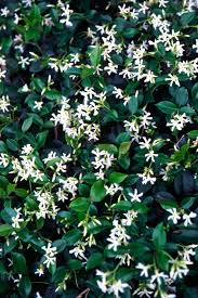 Fragrant Flowers For Garden - 10 plants you can u0027t kill soil type jasmine and indoor