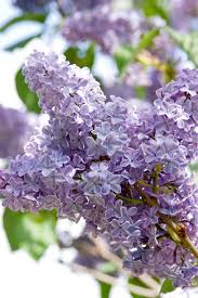 Tree With Purple Flowers How To Plant And Care For Lilacs Hgtv