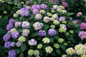 hydrangea flowers hydrangeas how to prune them hgtv