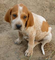 bluetick coonhound lab mix puppies for sale 403 best animals images on pinterest animals hunting dogs and