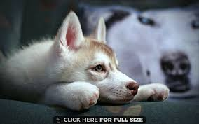 husky wallpaper