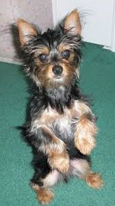 chorkie haircut styles little heidi the black and tan chorkie puppy is jumping up outside