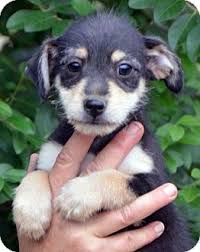australian shepherd chihuahua mix lucky adopted puppy bb hagerstown md fox terrier