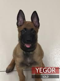 belgian shepherd k9 puppies