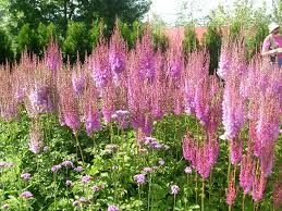 native plant landscaping in new england perennial shade gardens how to grow astilbe growing and caring for astilbe flowers