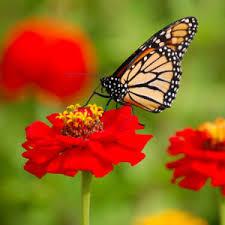 wikijunior bugs caterpillar butterfly wikibooks open books for an