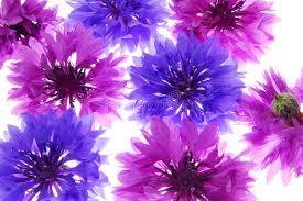 fiori viola fiori viola e viola immagine stock immagine di bello 6008905