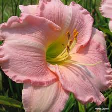day lilies pink attraction standard oakes daylilies wholesale