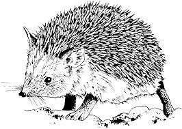 hedgehog coloring page getcoloringpages com