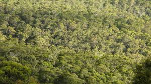 Above The Canopy by The Canopy Of Deciduous Eucalyptus Forest Seen From Above In