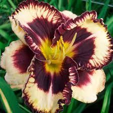 reblooming daylilies moussaka daylily reblooming hemerocallis michigan bulb