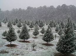 christmas trees on sale black friday mill hollow christmas tree farms