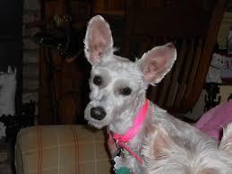 images of westie hair cuts westie angel needs a home goodgriefpetloss s blog