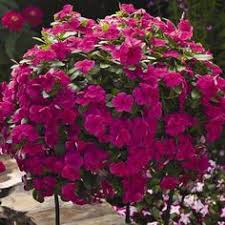 Vinca Flower Information - vinca valiant mix f1 seeds plants delivered and plants