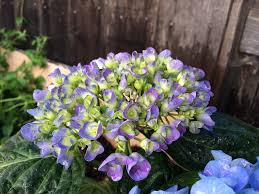 Hydrangea by Growing Hydrangeas The Complete Guide Espoma