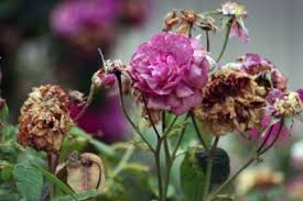 deadheading roses how to deadhead roses for more blooms